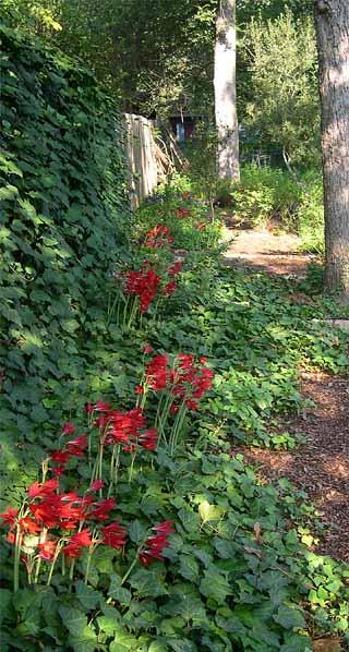 photo: oxblood lily