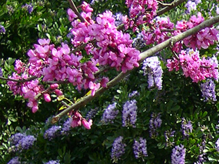 photo: redbud and Texas mountain laurel