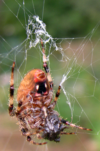 spider attacks crab spider