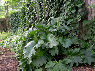 photo: Acanthus mollis