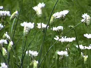 photo: Allium Neapolitanum