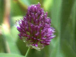 photo: Allium Sphaerocephalon