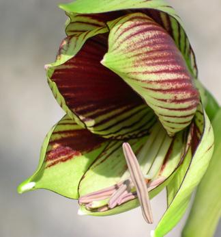amaryllis papillio