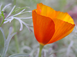 Zanthan Gardens California Poppy