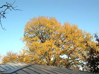 photo: Cedar Elm