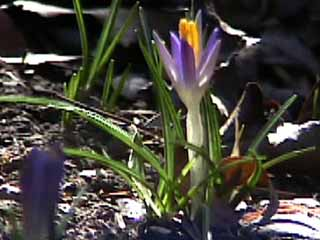 photo: Crocus tomasinianus
