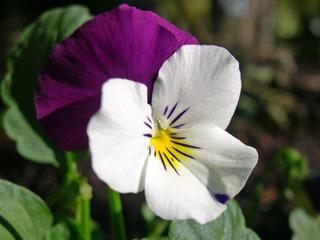 Viola cornuta Sorbet Coconut Duet