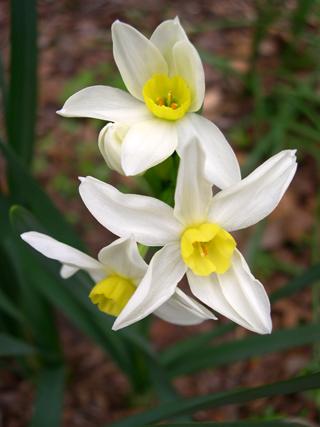 Narcissus tazetta italicus