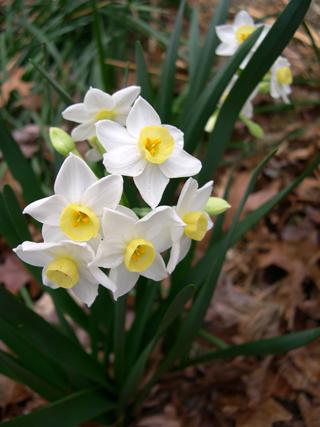 Narcissus Grand Primo