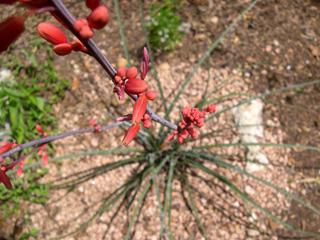 photo: Hesperaloe parviflora red yucca