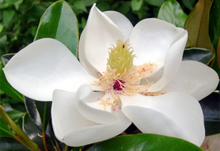 photo: Magnolia Little Gem
