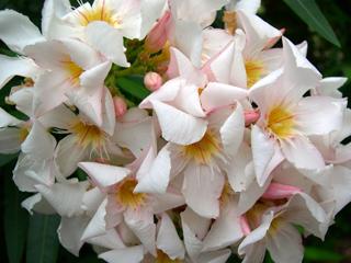 Nerium Oleander Shari D