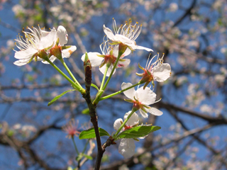 photo: Prunus Mexicana
