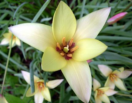 photo: Tulipa clusiana