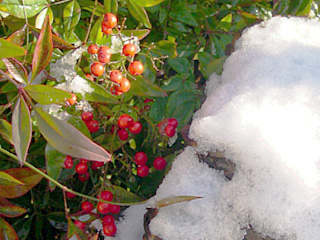 photo: snow on nandina