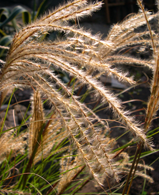 photo: maiden grass