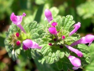 photo: henbit