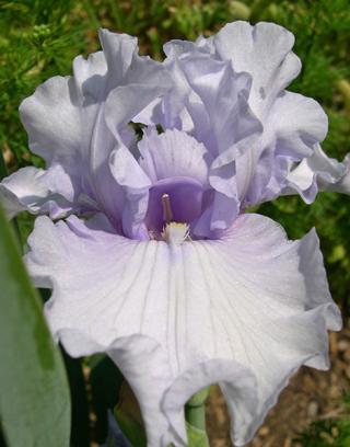 bearded iris Silverado