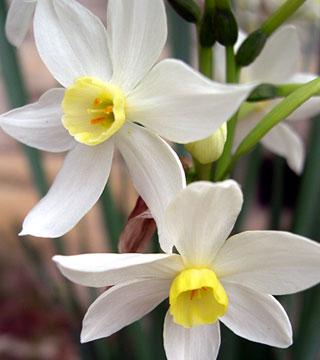 Narcissus tazetta Grand Primo