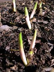 oxblood lily