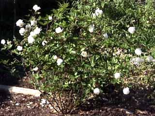 photo: rose bush Ducher