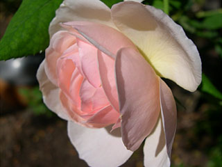 photo: rose Heritage