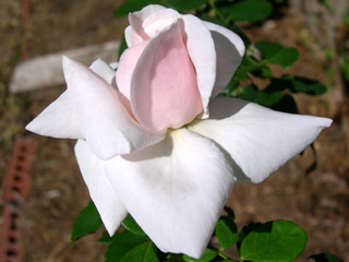 photo: rose New Dawn