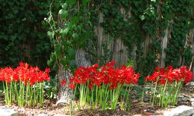 oxblood lilies