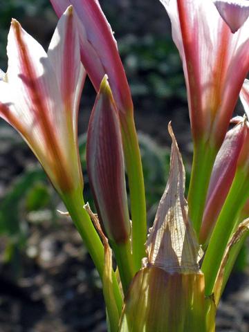 Crinum bulbispermum