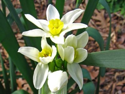 Narcissus tazetta v. italicus