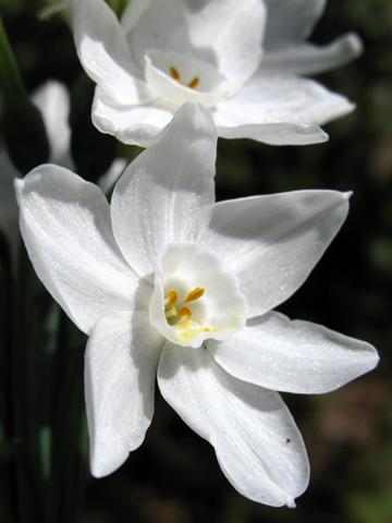 Narcissus papyraceus Grandiflora