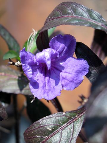 ruellia Mexican petunia