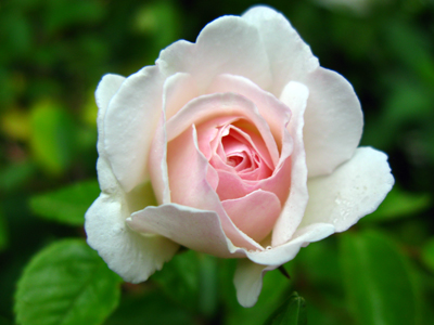 rose Prosperity