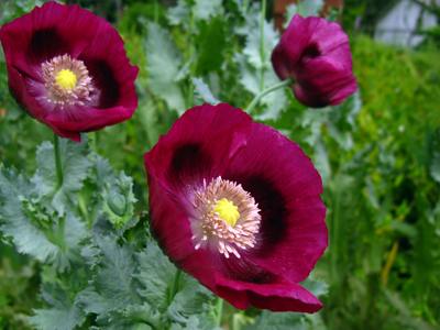 Papaver Laurens Grape
