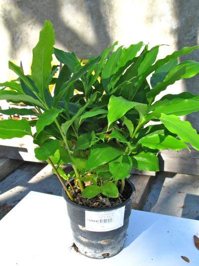 cardamom plant