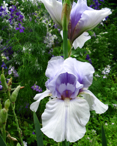 bearded iris Incantation