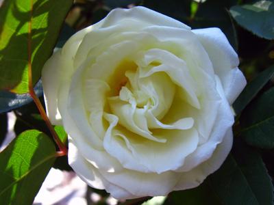rose Ducher