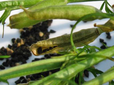 ripe larkspur seed