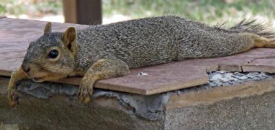 squirrel in summer