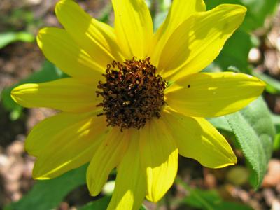 Elves Blend sunflower
