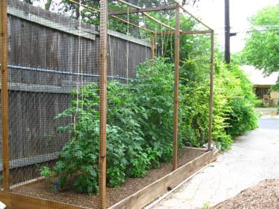 Zanthan Gardens tomato vines