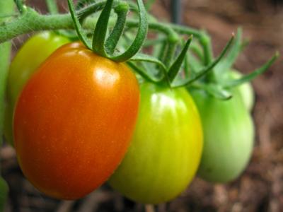 tomato Juliet